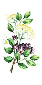 elderberry illustration